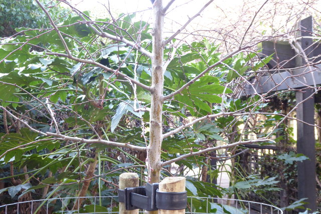 Semi-mature tree.