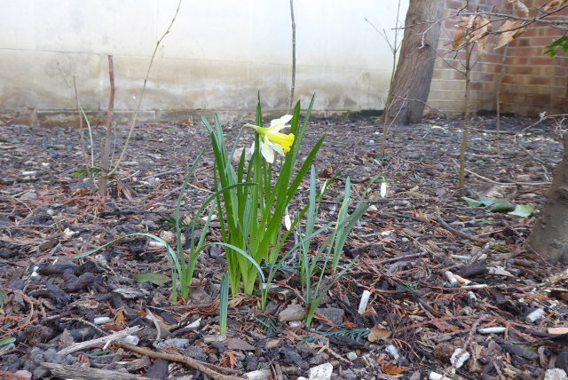 Snowdrops and wild daffodils.