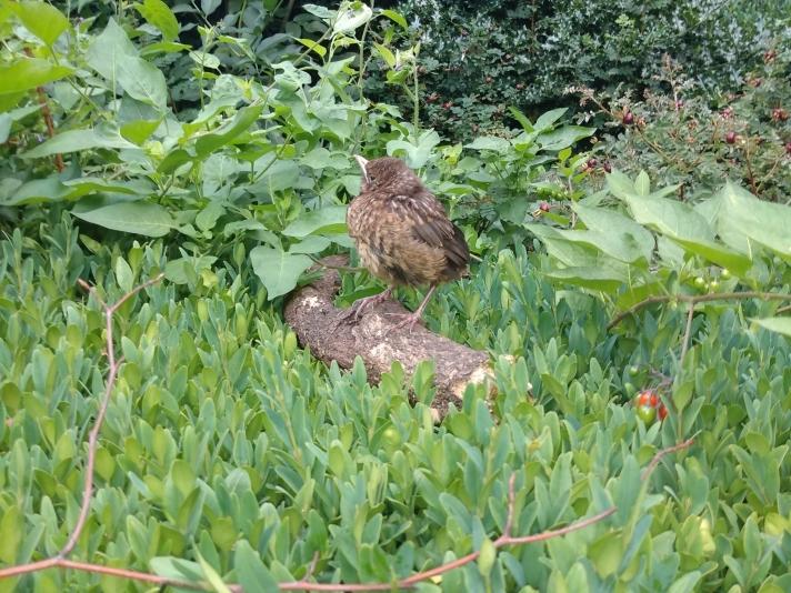 Juvenile blackbird on hedge.