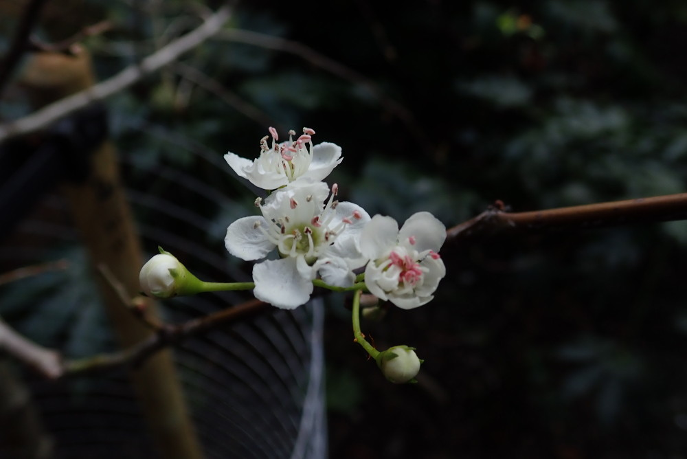 A hawthorn tree in Crabtree Fields is already in blossom and it is only January.