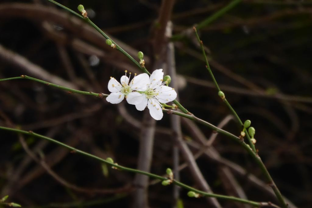 Plum (Prunus cerasifera) blossom in February at Crabtree Fields, Fitzrovia, London.