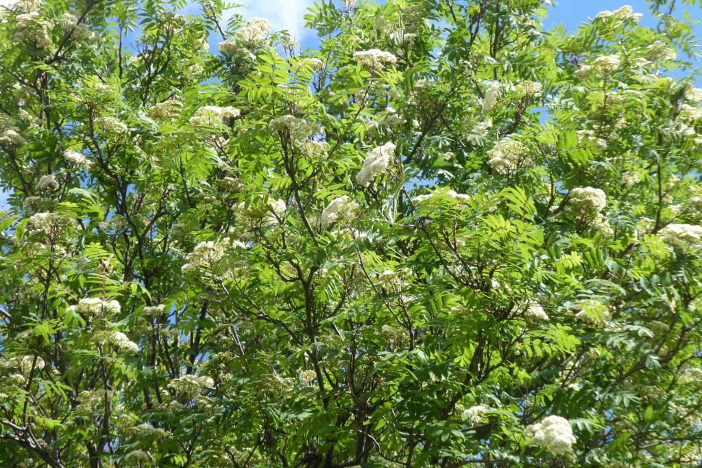 Creamy white blossom of a rowan tree.